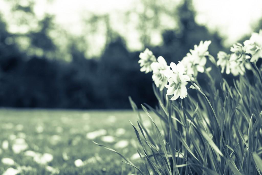 BW Dandelions
