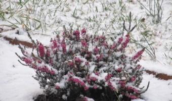 Wordless Wednesday – Winter Heather