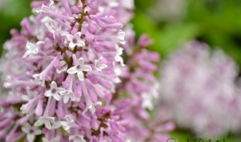 Spring: Lilac Blooms