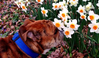 Even a bulldog stops to smell the daffodils