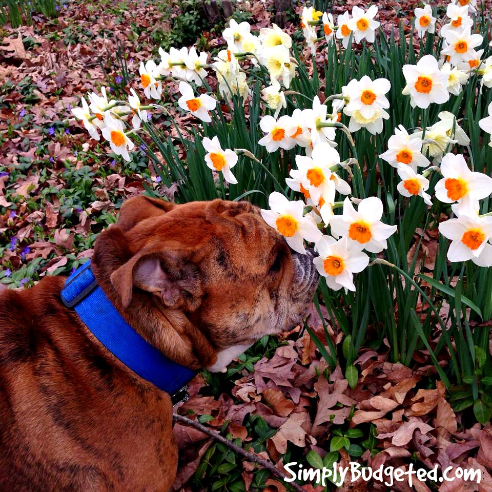 Spring is Here ... Stop and smell the daffodils!